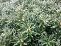 Taxus Baccata Branches with Rain Drops after Rain in Winter Stock Images