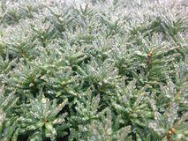 Taxus Baccata Branches with Rain Drops after Rain in Winter Royalty Free Stock Images