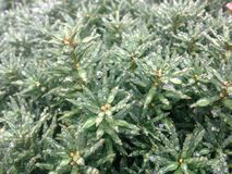 Taxus Baccata Branches with Rain Drops after Rain in Winter. Royalty Free Stock Photography