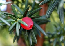 Taxus baccata closeup. Conifer green branch of yew tree with red berry English yew, European yew. Taxus baccata closeup. Conifer green branches of yew tree with royalty free stock image