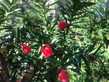 Female Taxus Baccata Conifer with Red Berries in the Sun in the Fall. Stock Photos