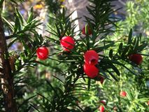 Female Taxus Baccata Conifer with Red Berries in the Sun in the Fall. Stock Photography