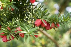 Taxus baccata European yew is conifer shrub with poisonous and bitter red ripened berry fruits Royalty Free Stock Photography