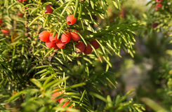 Taxus baccata (European yew) Stock Images