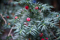 Taxus baccata. Red tree. Taxus baccata. coniferous Stock Images