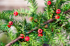 Taxus baccata with ripe cones Royalty Free Stock Photo