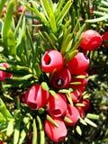 Taxus baccata wood fruit Stock Photo