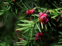 Taxus baccata yew tree royalty free stock photography