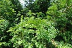 Taxus baccata z bujny zieleni ulistnieniem w wiośnie obraz stock
