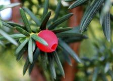 Taxus baccataclose-up Naaldboom groene tak van taxus met rood bessen Engels taxushout, Europees taxushout royalty-vrije stock afbeelding