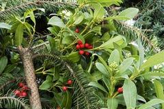 Taxus baccatataxushout Royalty-vrije Stock Fotografie