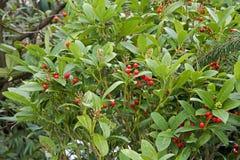 Taxus baccatataxushout Stock Foto's