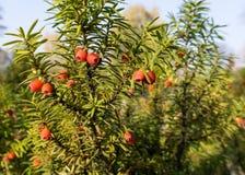 Taxusbaccata (europeisk idegransträ) Royaltyfria Foton