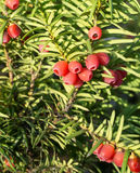 Taxusbaccata (europeisk idegransträ) Royaltyfri Fotografi