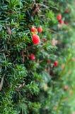 Taxusbaccataträd med röda bär royaltyfria foton