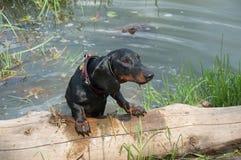Taxvalp, når simma krypande ut ur sjön på journal Royaltyfria Bilder
