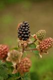 Tayberries royalty free stock photos