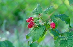 Tayberry - Rubus x  TAYBERRY Royalty Free Stock Photo