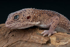 Taylor's gecko Royalty Free Stock Photography