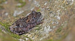 Taylor ` s Warted stellatum van Theloderma van de Boomkikker, Mooie Kikker, Kikker op de rotsen met mos stock foto's