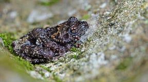 Taylor ` s Warted stellatum van Theloderma van de Boomkikker, Mooie Kikker, Kikker op de rotsen met mos stock fotografie