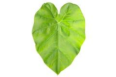 Tayoba leaf Green Caladium leaf,Elephant Ear isolated on white b. Tayoba leaf Green Caladium leaf,Elephant Ear stock photos