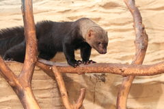 Tayra Stock Photos