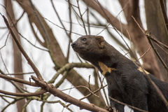 Tayra surveying his territory. Tayra in tree surveying his territory Royalty Free Stock Photography