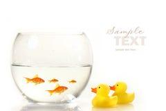Tazón de fuente con el goldfish y pocos patos del caucho Imagen de archivo