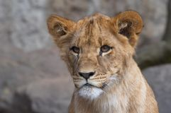 Taza curiosa del león Imagen de archivo