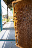 Taza de la reina o célula del peine de la cera de la abeja de la miel Foto de archivo