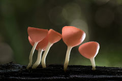 Taza de los hongos Fotografía de archivo