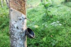 Taza del árbol de goma y del látex imágenes de archivo libres de regalías