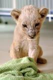 Taza del león Imagenes de archivo
