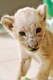 Taza del león Fotos de archivo