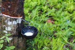 Taza para el látex en los árboles de goma en la fila para el árbol de goma foto de archivo