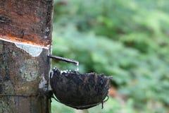Taza para el látex en los árboles de goma en la fila para el árbol de goma imagen de archivo libre de regalías