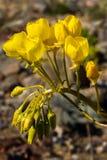 Tazas amarillas Foto de archivo libre de regalías
