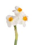 tazetta黄水仙的三朵橙色和白的花 免版税库存照片
