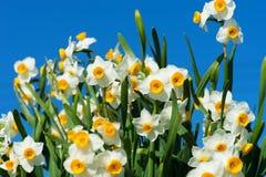 Tazetta cinese dei Narciso-narcisi Immagine Stock