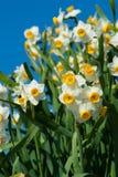 Tazetta cinese dei Narciso-narcisi Immagini Stock