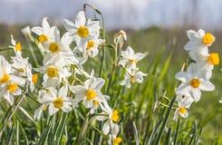 Tazetta fragante salvaje hermoso del narciso de las flores del narciso, narciso manojo-florecido, narciso, lirio sagrado chino en foto de archivo libre de regalías
