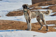 The Tazy, or the Central Asian greyhound, or the Kazakh greyhound, or the Turkmen greyhound, are a breed of hunting dogs. stock photos