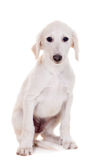 Tazy - Kazakh greyhound on white Stock Photography