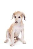 Tazy - Kazakh greyhound on white Stock Image