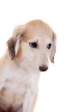 Tazy - Kazakh greyhound on white Royalty Free Stock Images