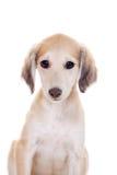 Tazy - Kazakh greyhound on white Stock Photos