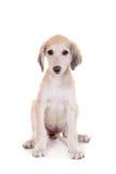 Tazy - Kazakh greyhound on white Royalty Free Stock Photography
