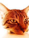 Tazz Tigre cat Royalty Free Stock Images