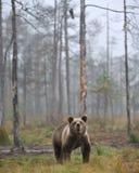 Tazza dell'orso Immagine Stock